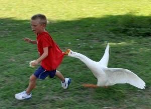 Мальчик убегает от гуся